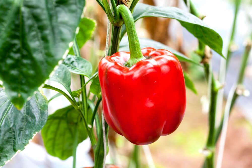 Red bell pepper on its stem