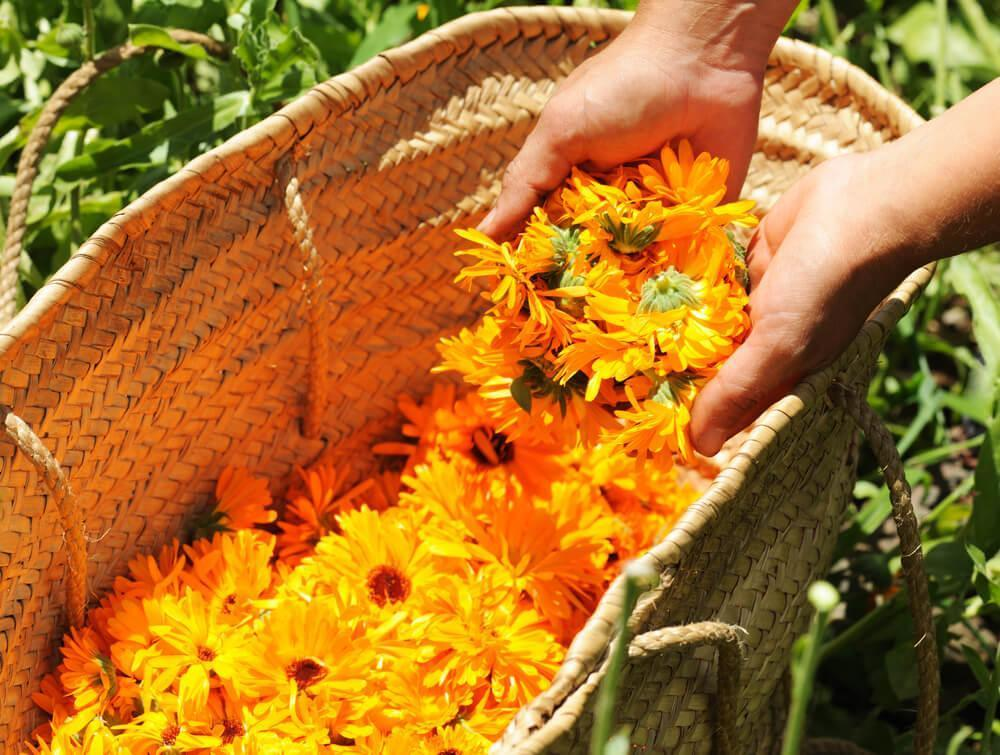 Unknown hand reaching into basket filled with calendula flowers
