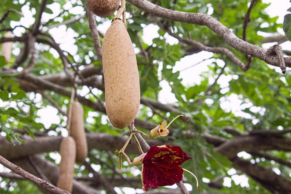 Kigelia fruit and flower growing on a tree